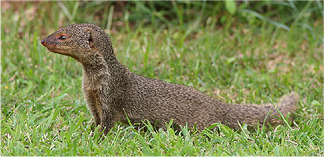 small indian mongoose herpestes javanicus our wild world