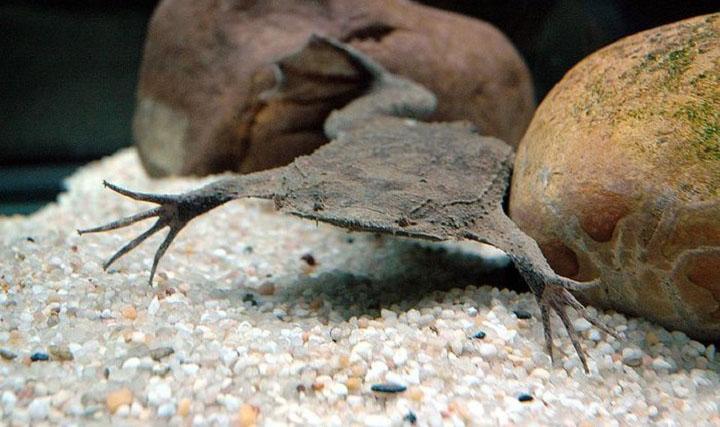 Surinam Toad Pipa Pipa Our Wild World