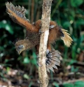 Hoatzin (Opisthocomus hoazin) chick climbing a branch, Guyana, South America