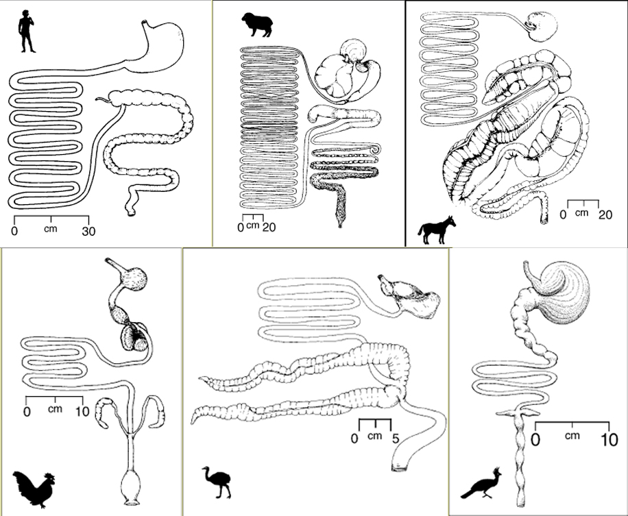 the difference between the human digestive Rat vs human digestive system | human digestive system vs rat digestive system since both human and rat are mammals, their digestive systems exhibit many similarities and very few dissimilarities.