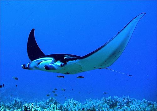 Manta Rays Genus Manta Our Wild World