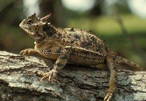 horned_lizardlarge