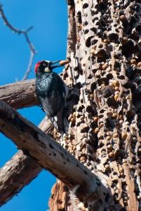 An acorn woodpecker storing an acorn in its granary