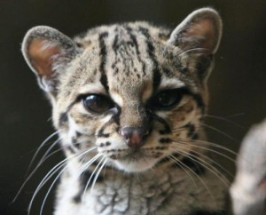 Margay-cat-wallpapper