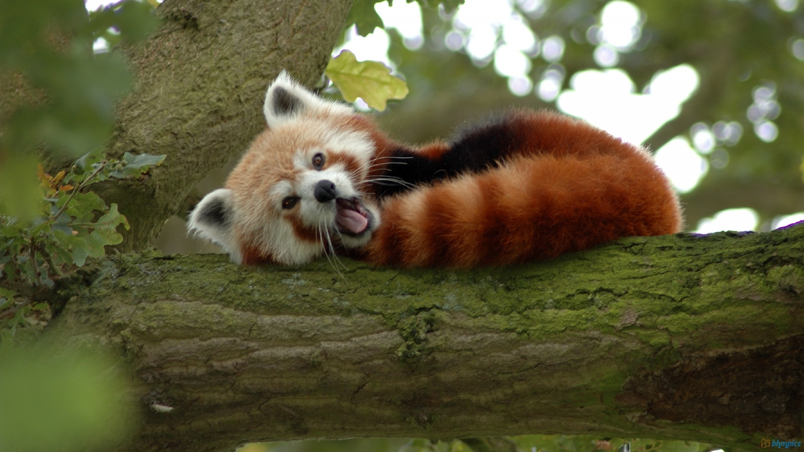 Suzy\'s Animals of the World Blog: THE RED PANDAS