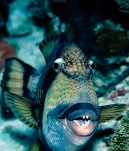 Triggerfish428x500