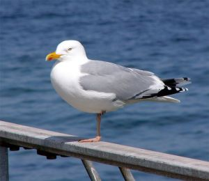 herring_gull-wikipedia