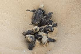 Baby hawksbills hatch and begin the treacherous journey to the sea