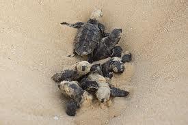Baby hawksbills hatch and begin the treacherous journey to the sea