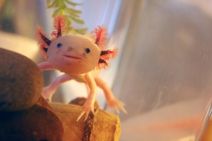 A pink axolotl in captivity. Axolotls have four colours, two 'normal' ones (black and spotted brown) and two mutant colours, pink and orange.