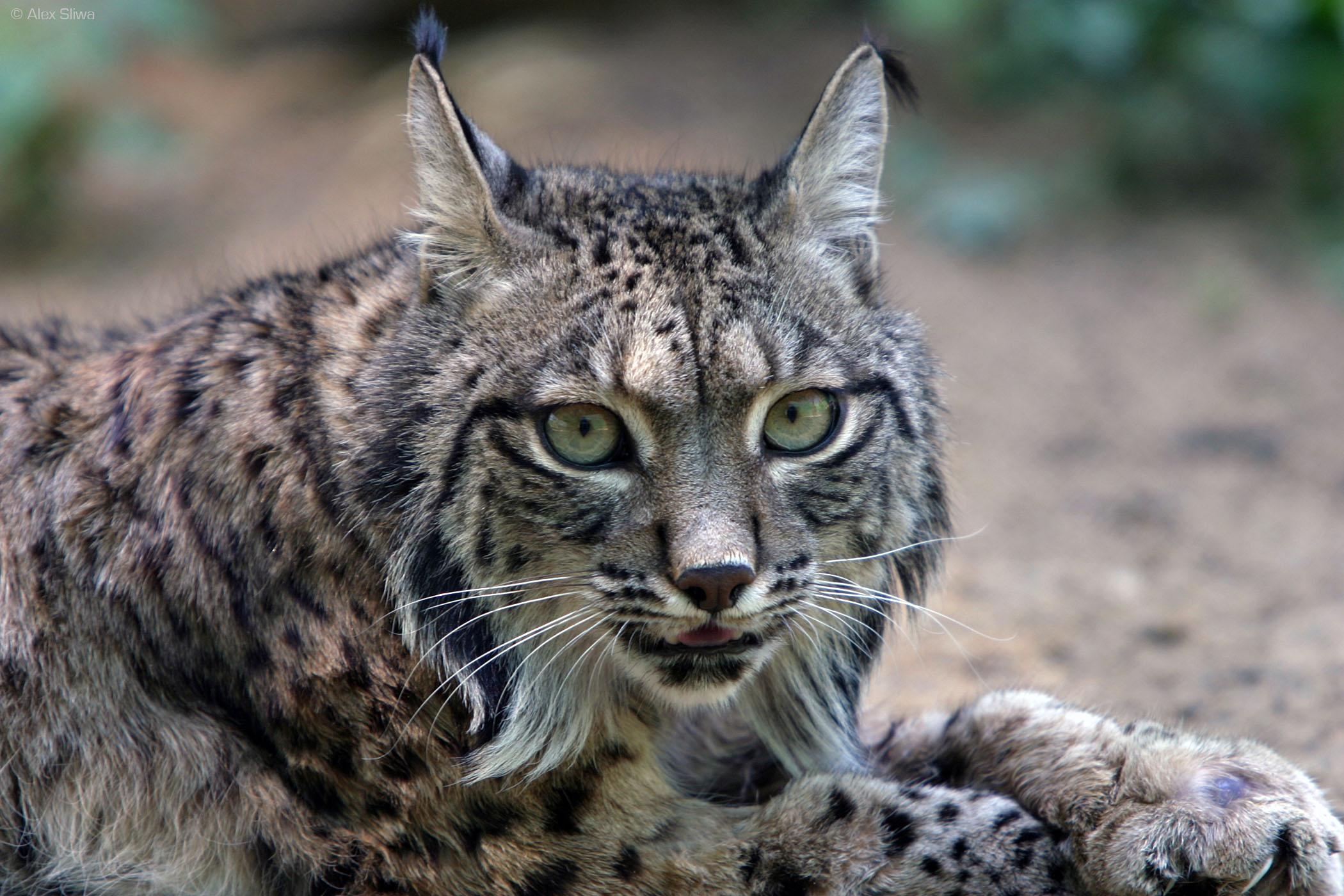 Lynx – Meet the Felidae Family
