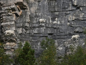 Ridiculous example of the kind of climbing mountain goats do every day