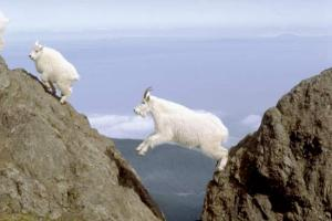 Another example of the fearless mountain goat doing crazy things