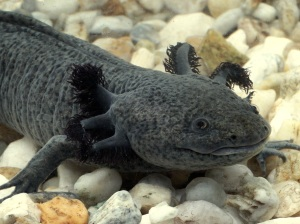 A axolotl in captivity; where most of this species lives