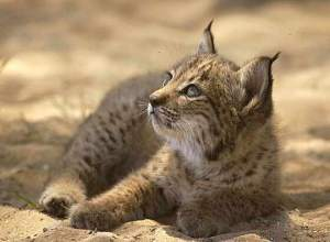 An Iberian lynx kitten. Captive breeding programs are helping bolster this endangered species' numbers.