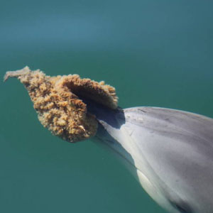 Tool use by a dolphin - the sponge protects the rostrum from abrasions while the dolphin hunts
