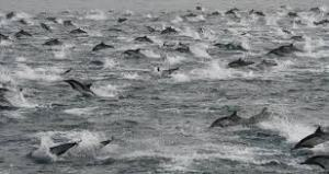 A superpod of dolphins - these can be as many as 100,000 individuals