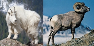 Two very different animals: the mountain goat (left) and bighorn sheep (right)