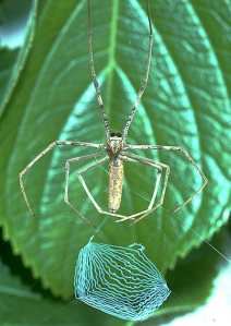 A rufous net-casting spider, constructing its wool-like net