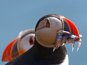 A puffin sporting its bright orange beak and a mouthful of fish. The beaks are bright in the breeding season but grey in the rest of the year.