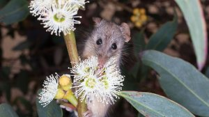 Honey possum feeding on a flower