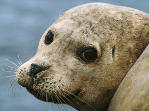 A harbour seal's face. His big eyes have a flattened cornea to allow him to see in dark waters, and his whiskers are extra sensitive to detect acoustic waves made by prey in the water.