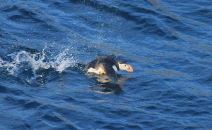 A puffin taking off from the water - a picture I took myself!