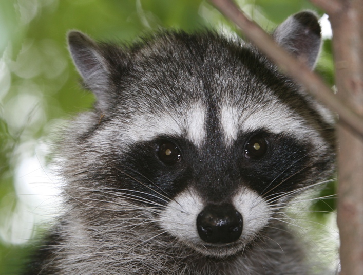 raccoon's face, showing off it's black mask. The reflection in its ... Raccoon Face