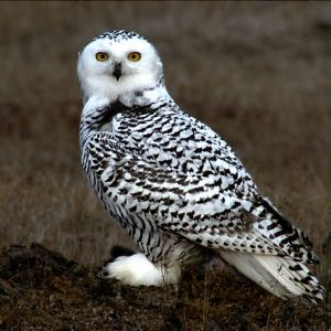A young snowy owl, which tend to have more black markings than adults.