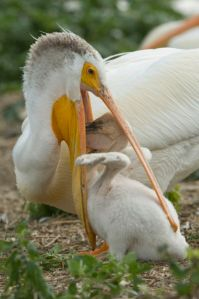A pelican chick gobbles food from its parents pouch.