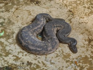 An elephant trunk snake. Notice the folds of skin that are so characteristic of this species.