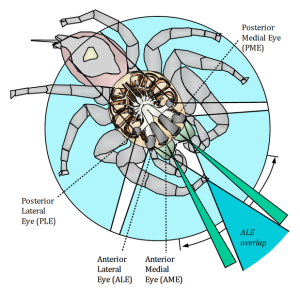 A diagram of the jumping spider's vision