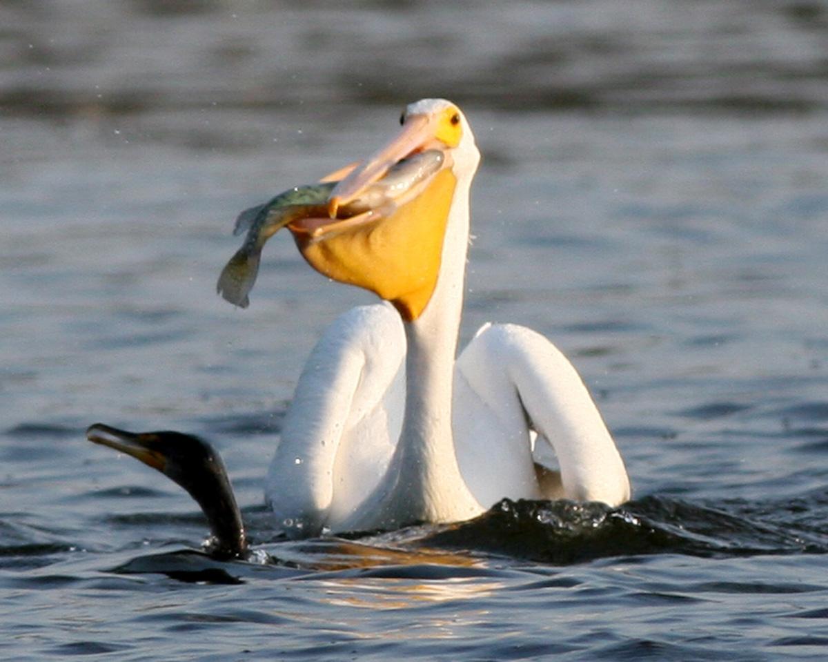 pelicans - HD1200×959