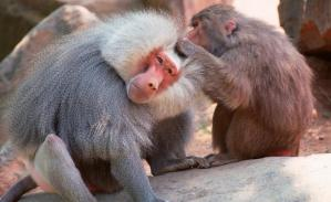 A female grooming a male baboon. Females spend much of their time grooming their OMU male, a pretty good deal for the leader male.