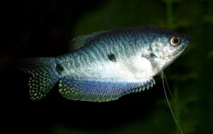 A blue gourami, looking pretty and stuff.