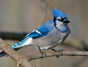 A blue jay showing off its beautiful plumage.