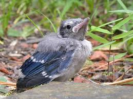 A young blue jay, who isn't quite as pretty as its parents. Almost, though.