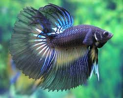 A betta fish, which has been bred for fighting and the pet trade and now looks almost nothing like its wild counterpart.