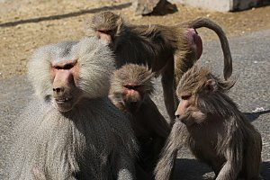 A male hamadryas baboon with several females. Males are much larger than females and have a silvery coat and mane.