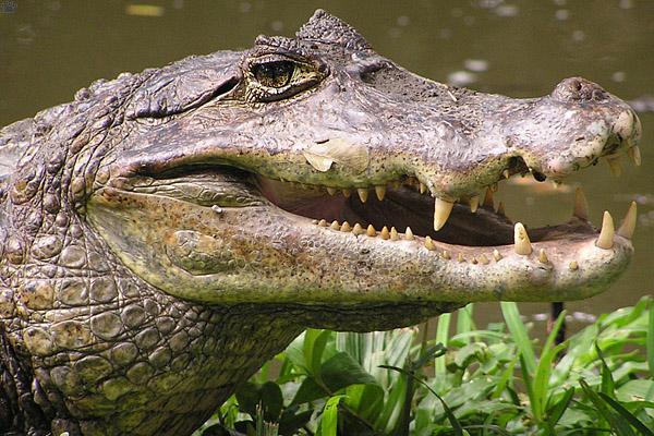 Alligator With Glasses