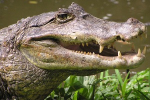 The face of a spectacled caiman, showing the ridge between its eyes
