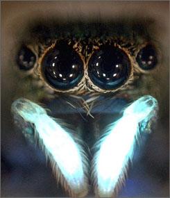 A jumping spider's legs in UV light.