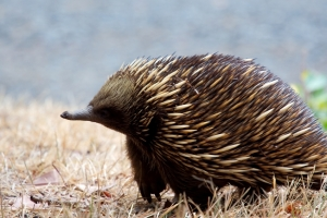 A beautiful echidna, looking very ponderous.