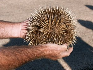 An echidna rolled into a ball. Not bad protection, if you ask me.