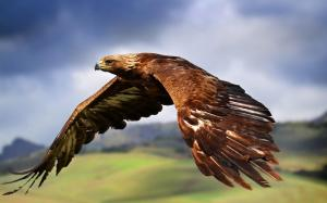 A stunning picture of a golden eagle flying. They can fly up to 80mph, and their dives can exceed speeds of 200mph.