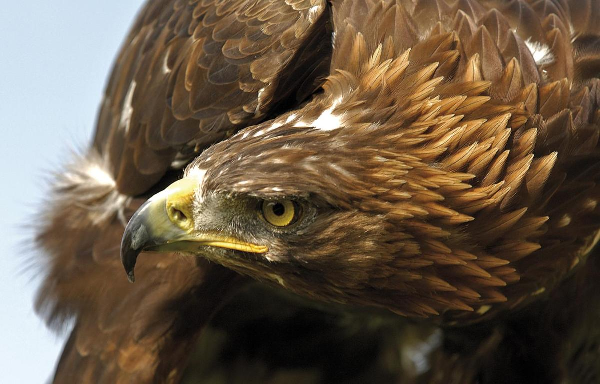 golden eagle Golden eagle 66-90 cm#r male 2840-4550 g, female 3630-6665 g (exceptionally up to c 7200 g#r) wingspan 180-234 cm#r fairly uniform dark brown although crown, nape a.