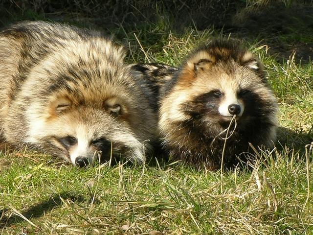 Japanese Raccoon Dog Pet For Sale
