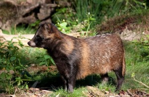 A raccoon dog with its summer coat. They moult twice a year, to change from a winter coat to summer and back.