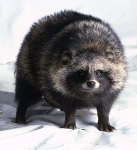 Raccoon Dog (Nyctereutes procyonoides)_1
