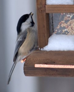 Chickadees are frequent visitors to bird feeders, and are not overly shy of people. Some birds will even eat out of people's hands.